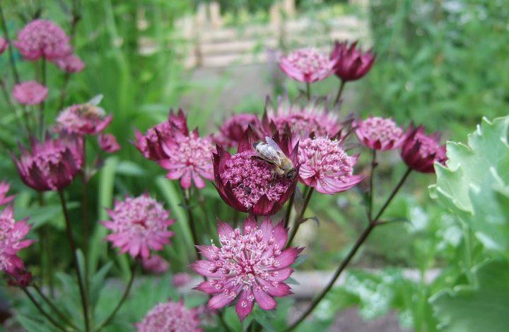 flower astrantia garden