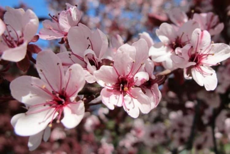 Growing Purple Leaf Sand Cherry
