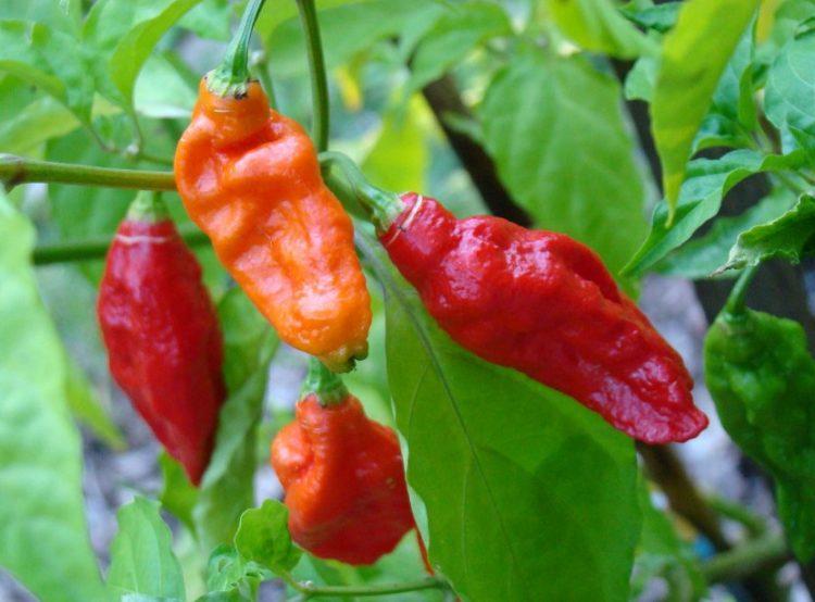 growing ghost pepper plants