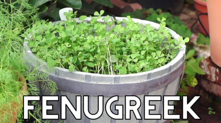 how to grow fenugreek plant
