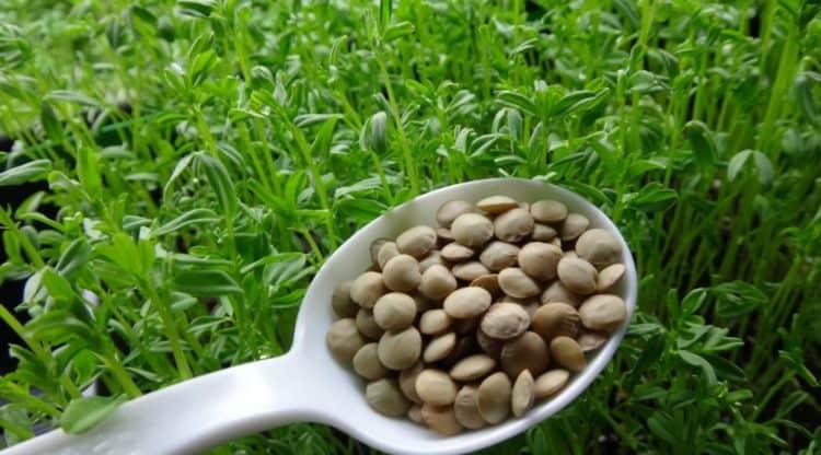 how to grow lentil