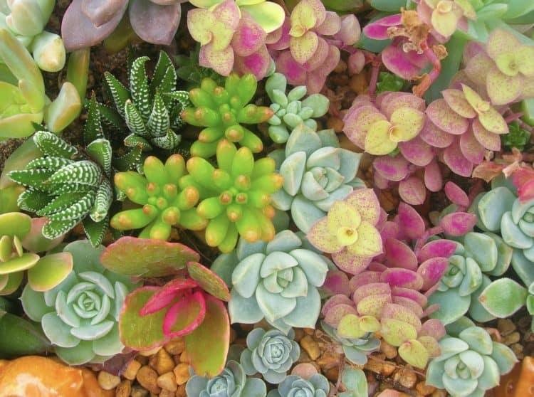 types of succulent