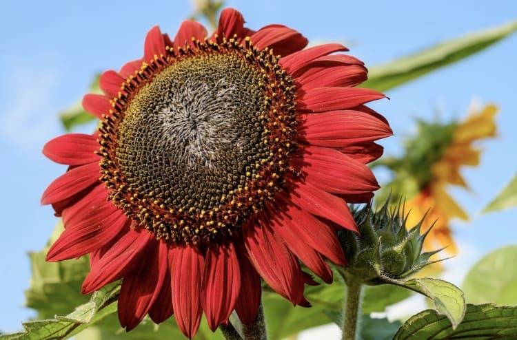 Red Sunflower flower