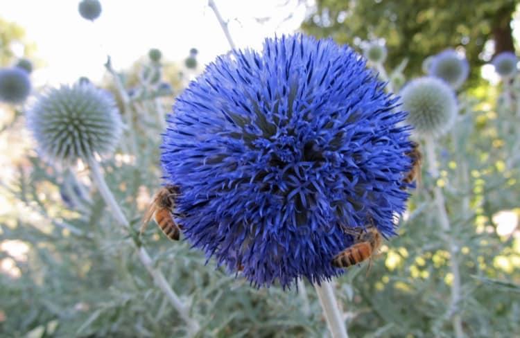 globe thistle flower