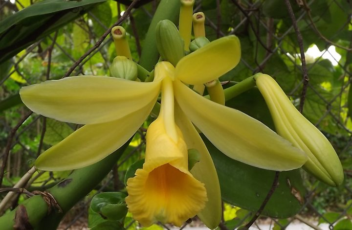 About Vanilla Orchid