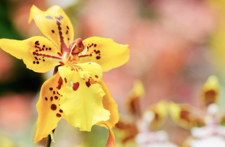 Caring for Oncidium Orchids