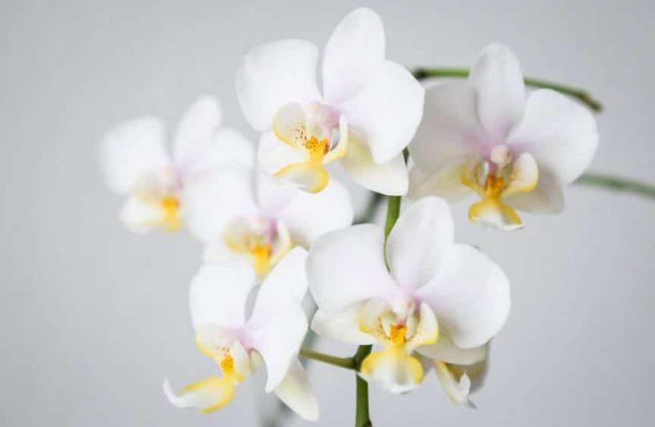Exotic Phalaenopsis Orchid