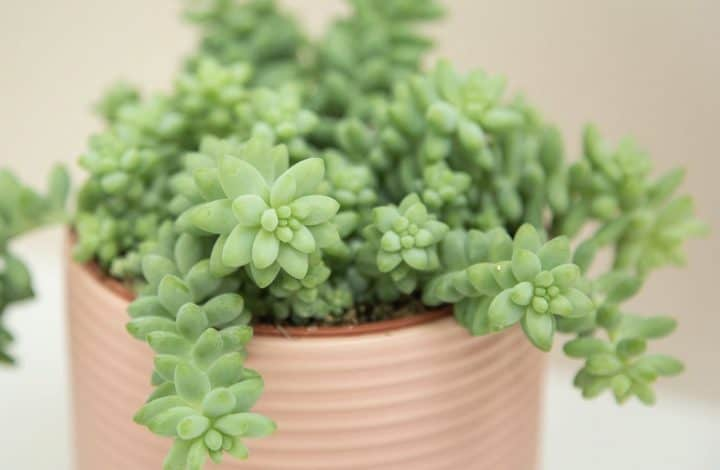 Growing Sedum Morganianum