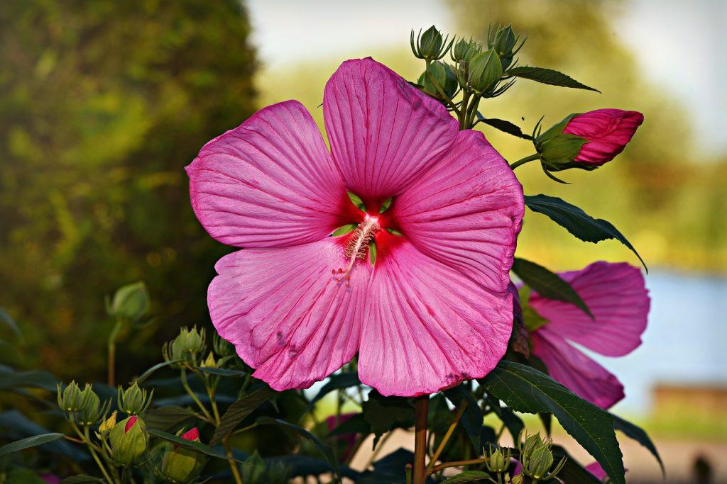 Types of Hibiscus Plant