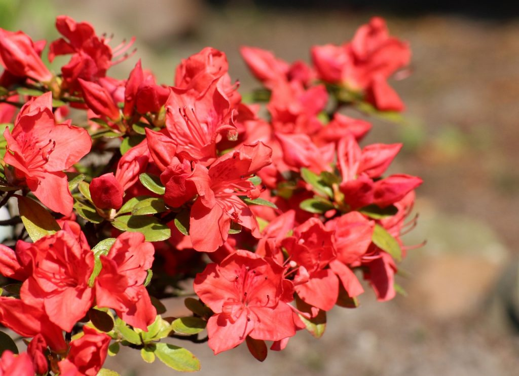 Rhododendron Chinese Flower