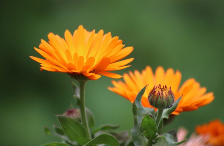 The Brilliance of Marigold Flowers