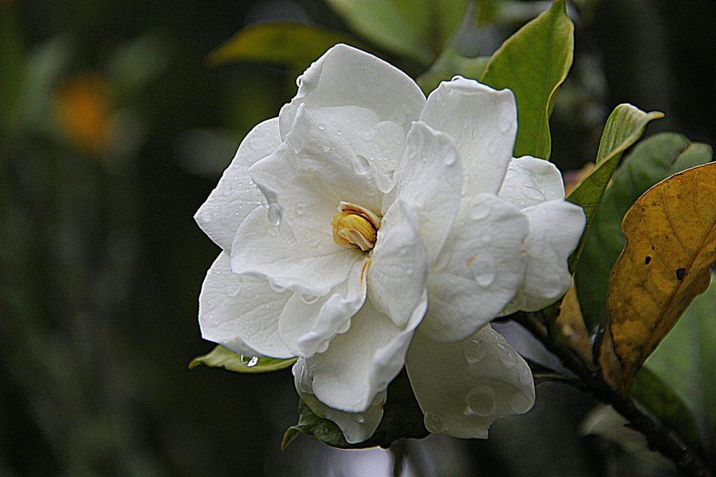 Chinese Gardenia Flower