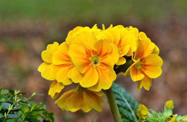 Varieties of Primrose Flower