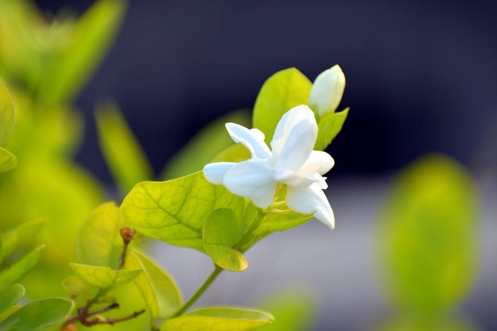 Arabian Jasmine Varieties