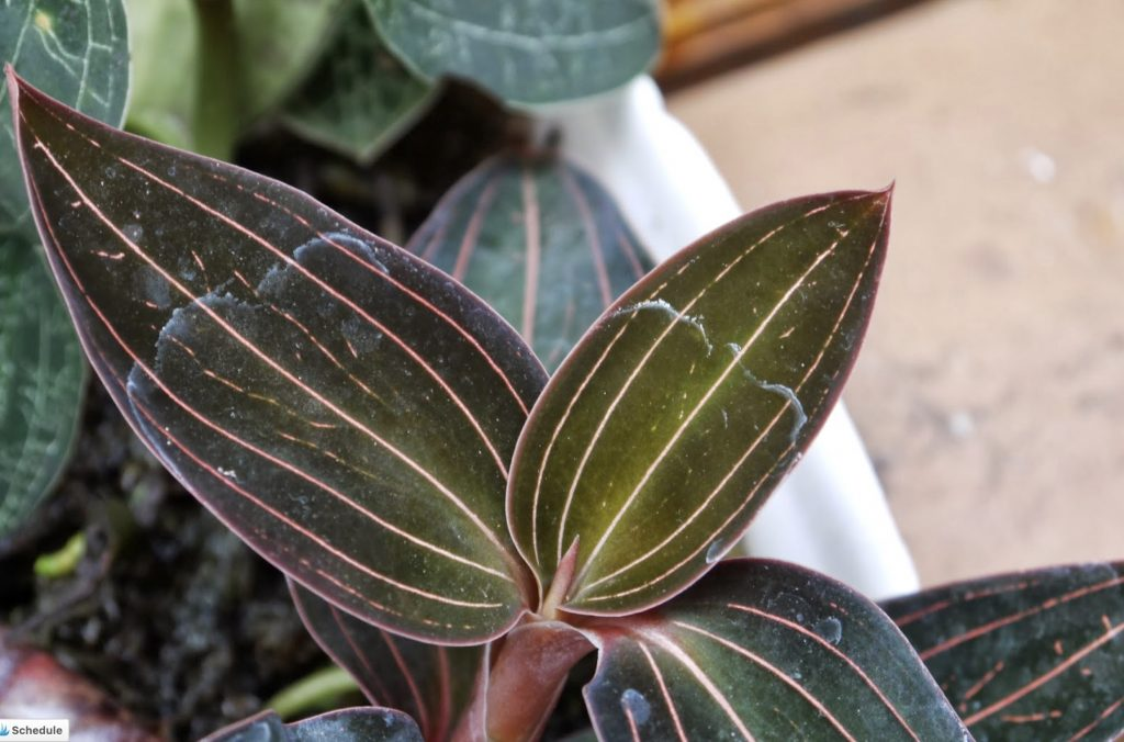 Care for Jewel Orchid