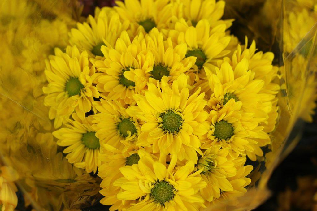 Characteristics of Chrysanthemum Morifolium