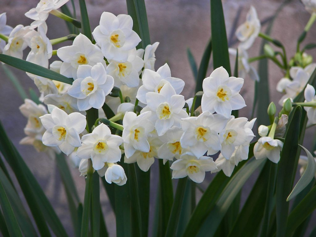 December Birth Flower - paperwhite