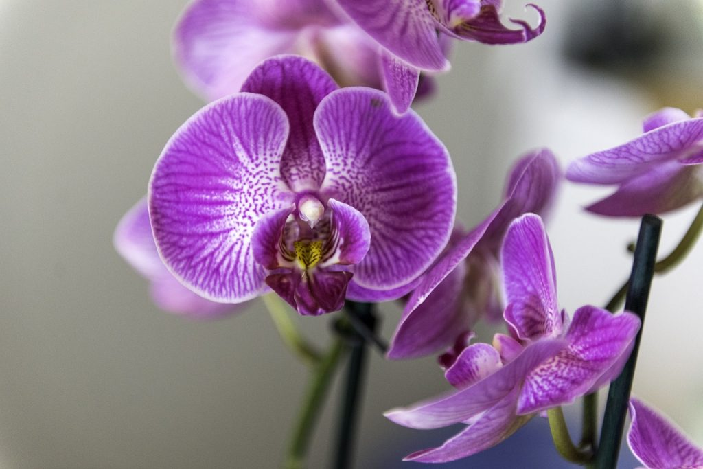 Etymological Meaning of Orchid Flower