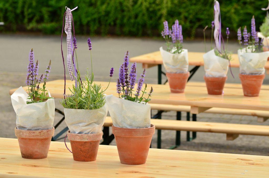 Grow Lavenders in Pots