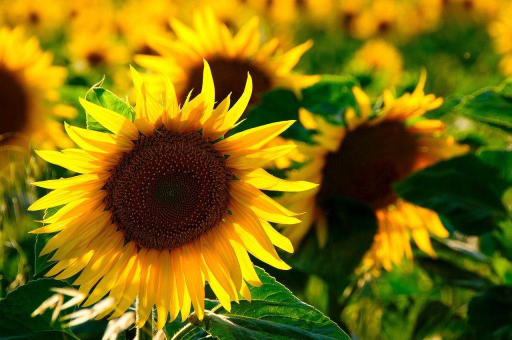 Harvesting sunflower