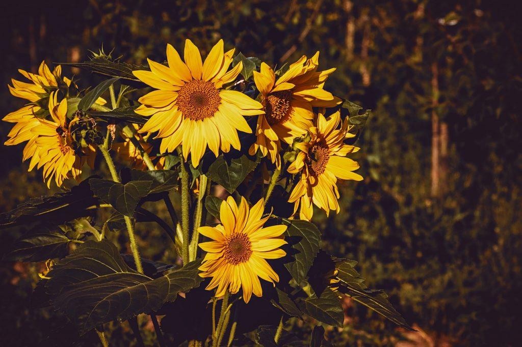 History of Sunflowers