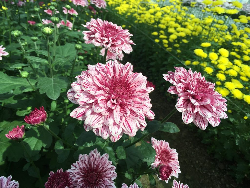 How to Plant Common Mums in the Garden