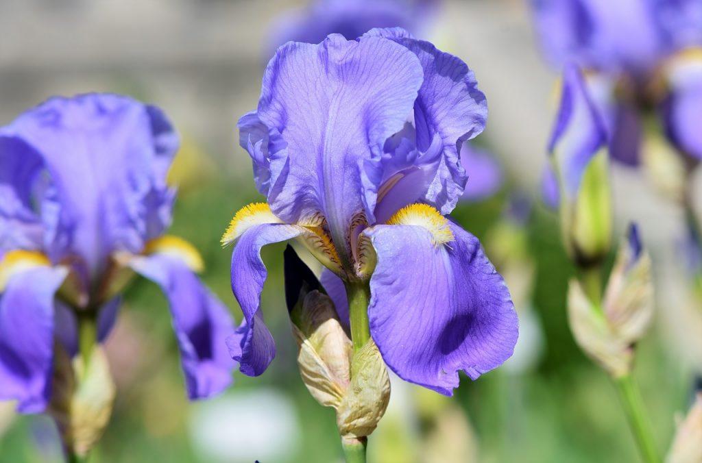Iris Flower Etymological Meaning