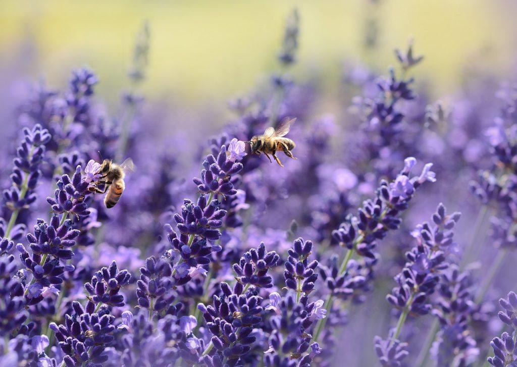 Lavender Types