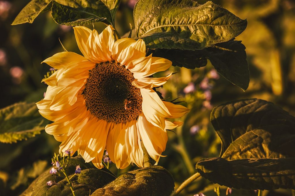 Myth of Sunflowers