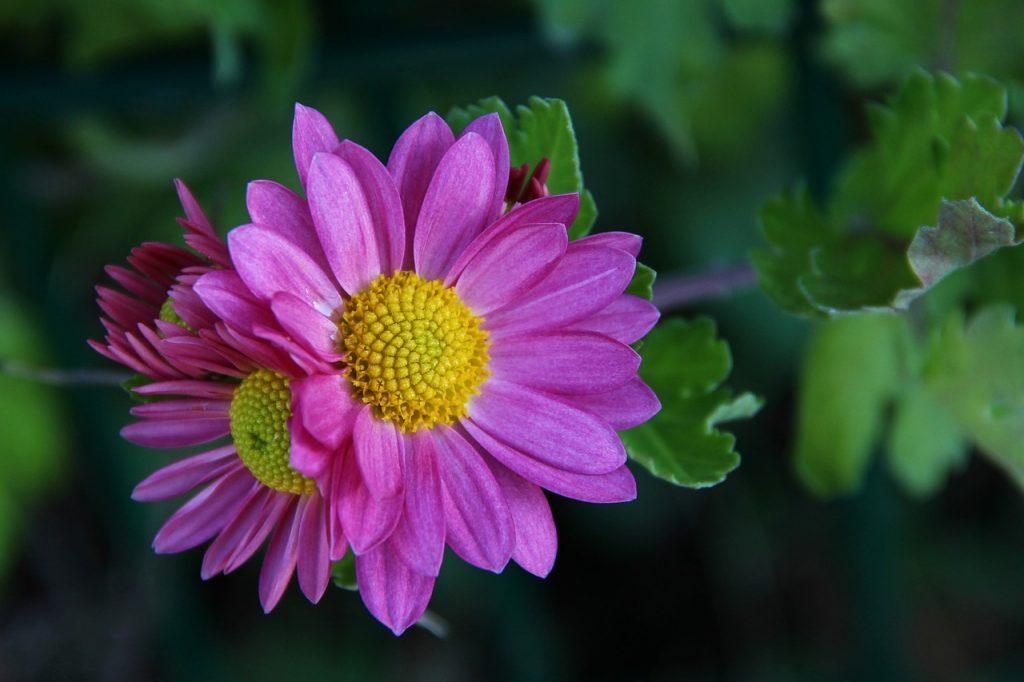 November Birth Flower - chrysanthemum