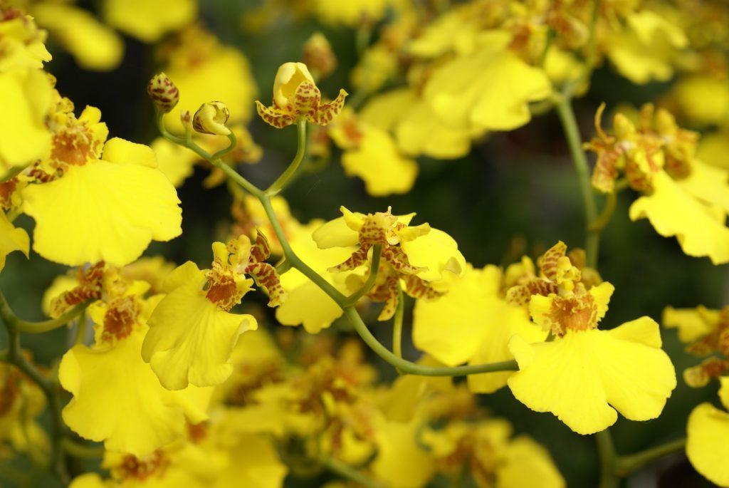 Repot Oncidium Orchids