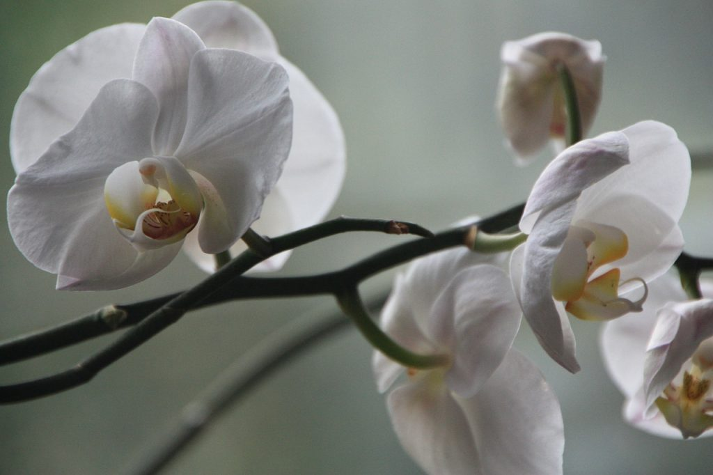 Requirements to Plant Phalaenopsis Orchids