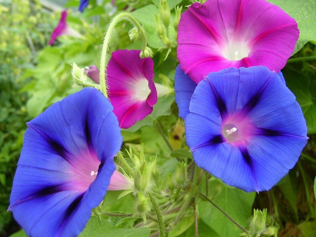 September Birth Flower - morning glory