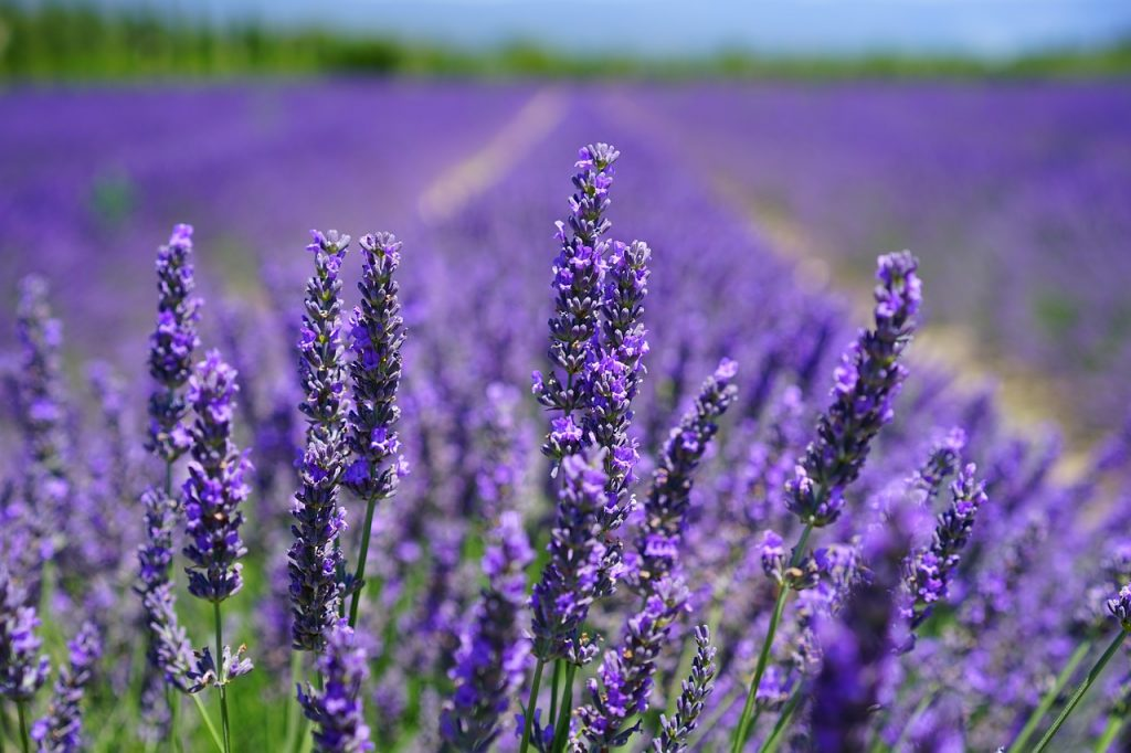 Taking Care of Lavenders