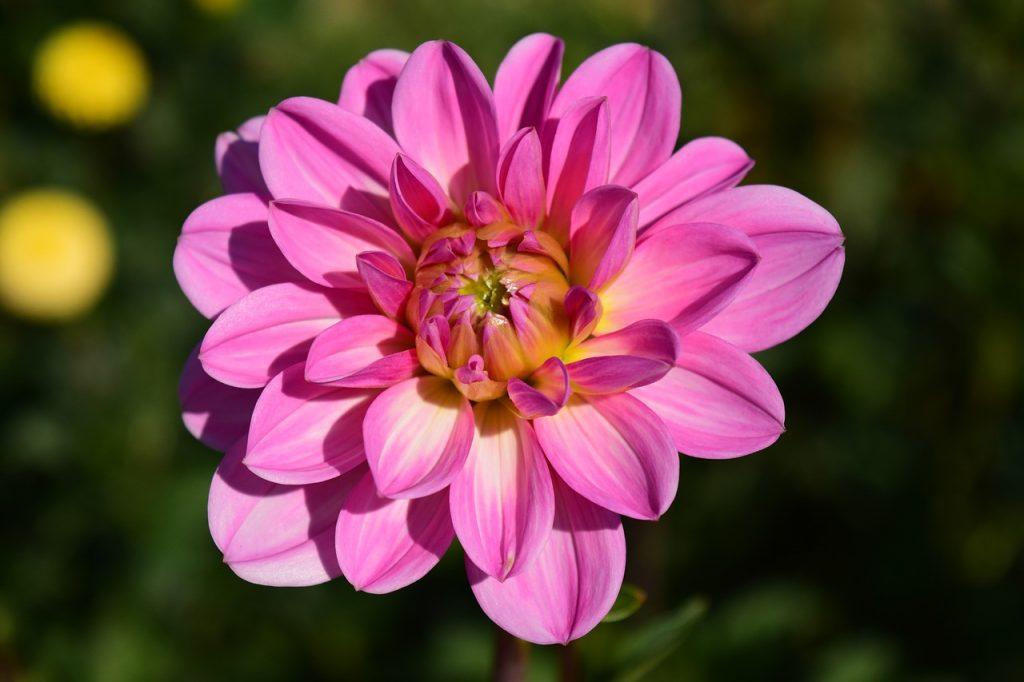 indian flowers dahlia