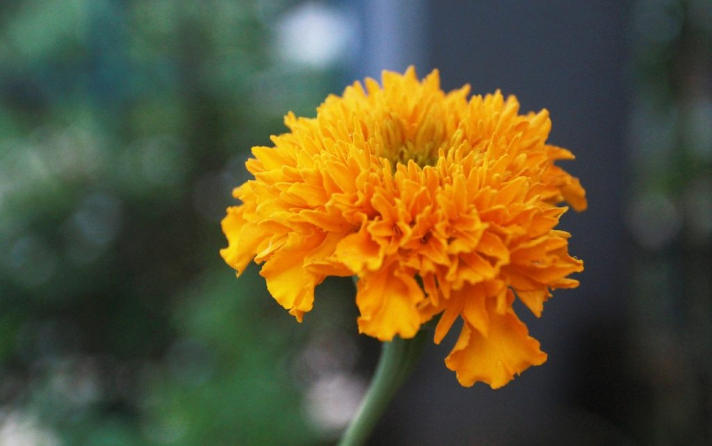 The Origin of Marigold Flowers