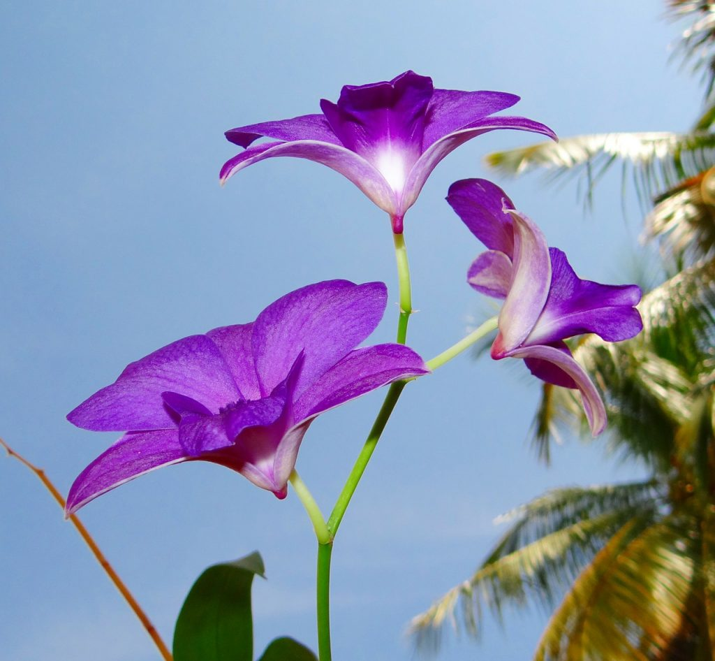 Types of Dendrobium Orchid