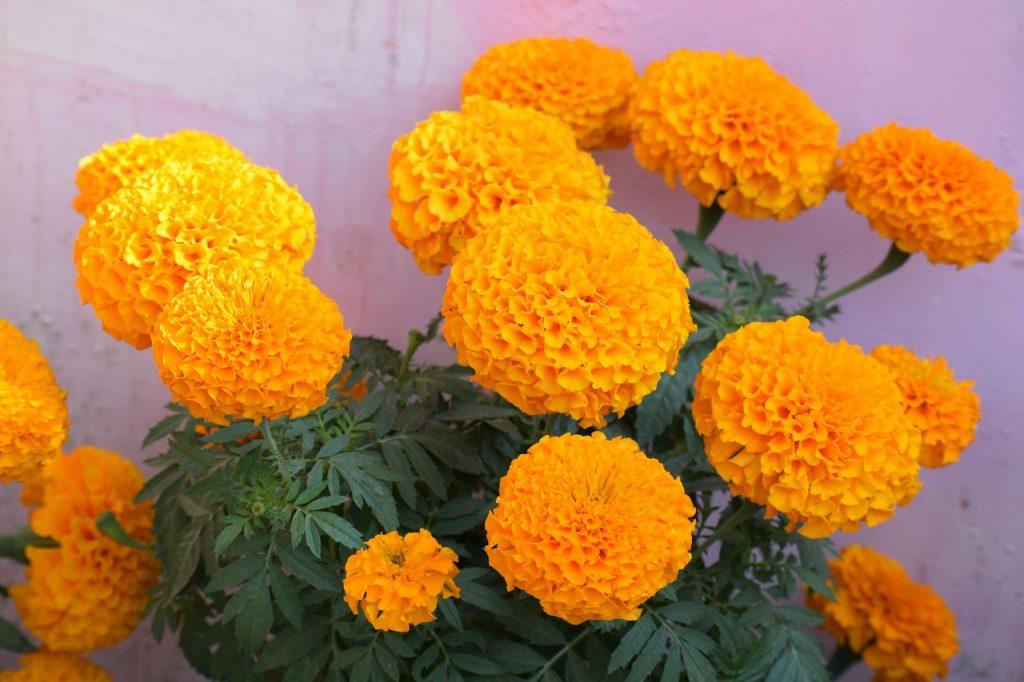 Using Marigold Flowers