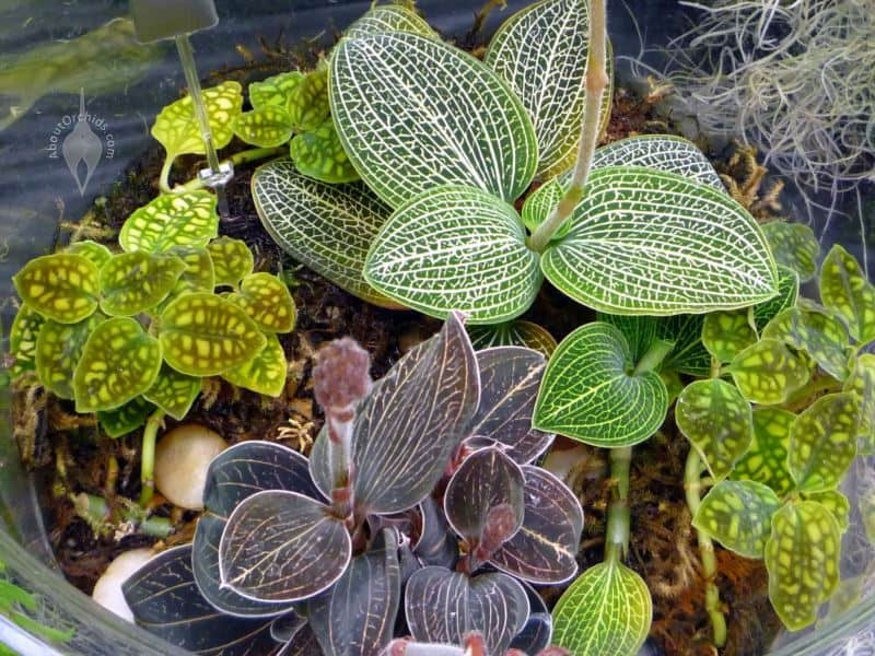 What is Jewel Orchid