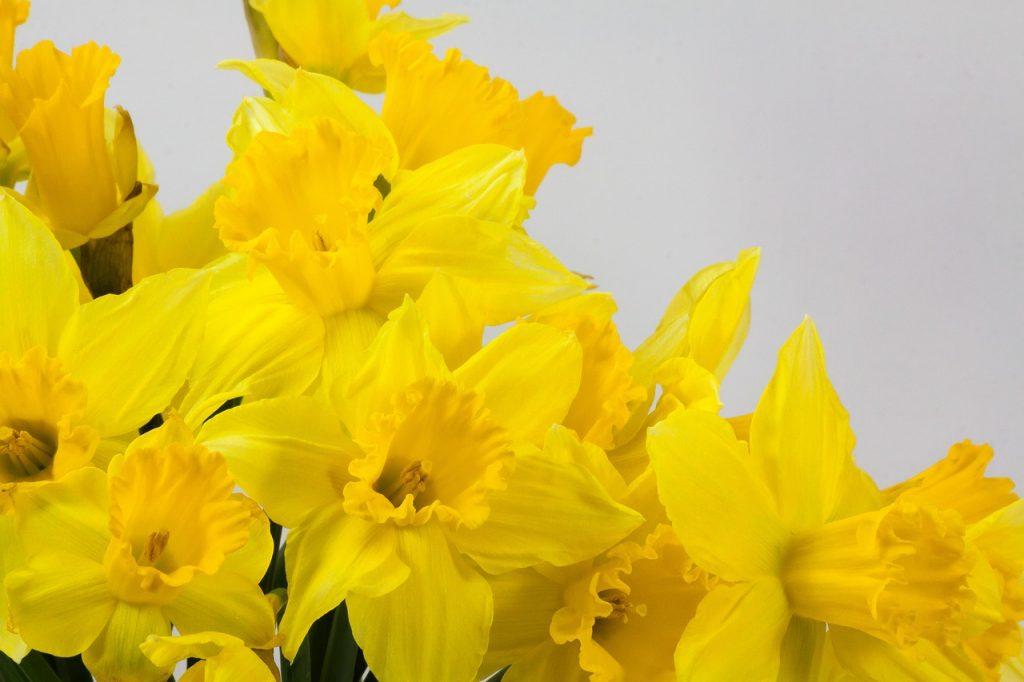 march birth flower - daffodil