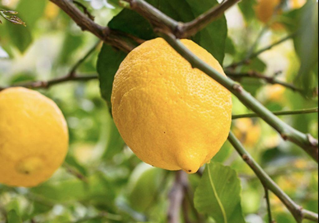 Bearss Lemons