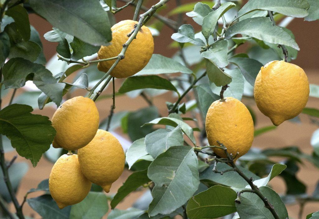 Interdonato Lemons