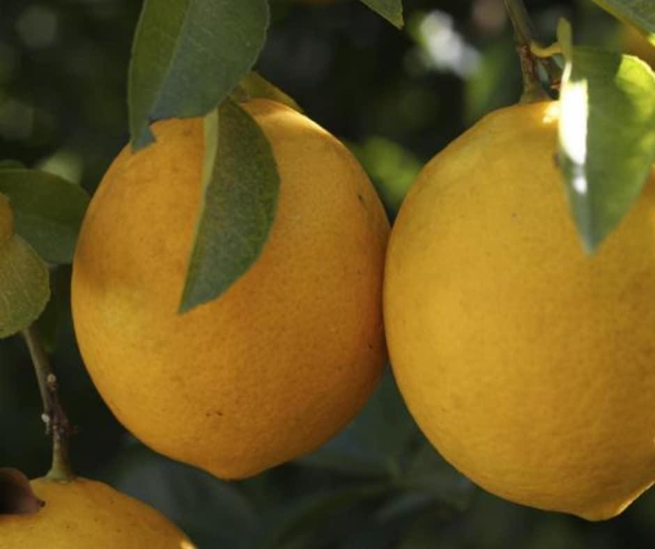 Yen Ben Lemons