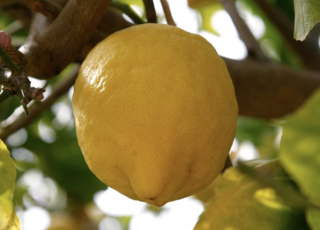 Greek Citron Lemons