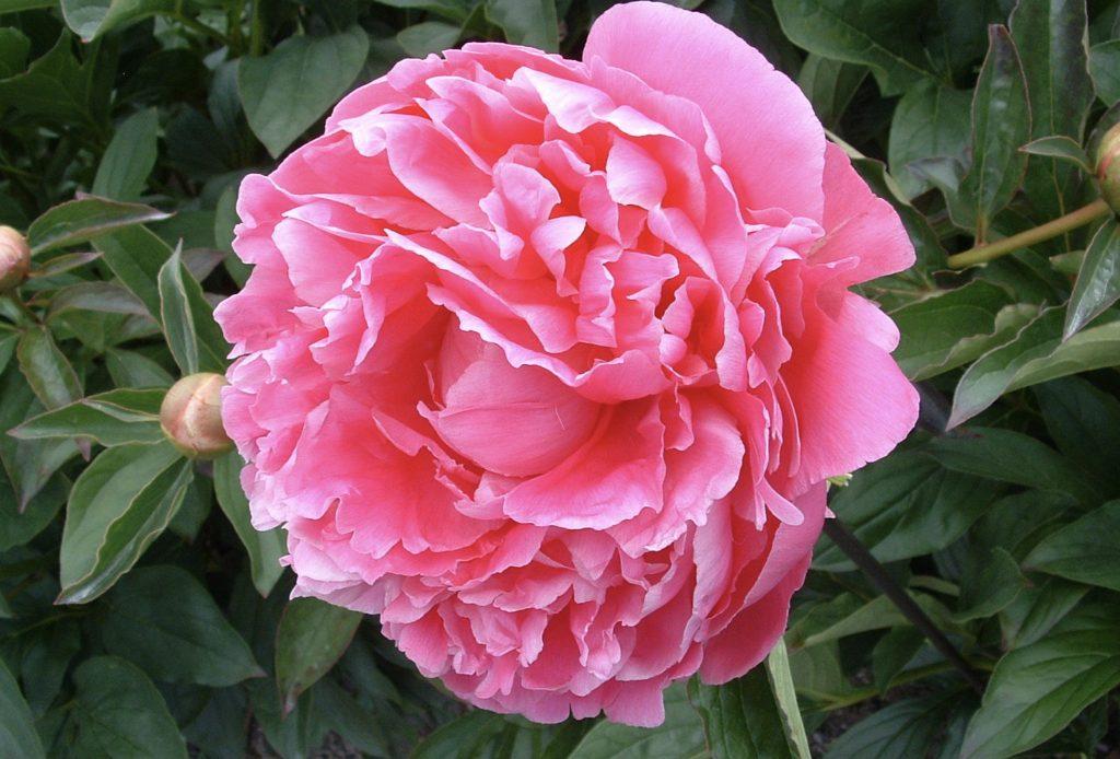 Pink Parfait Peony