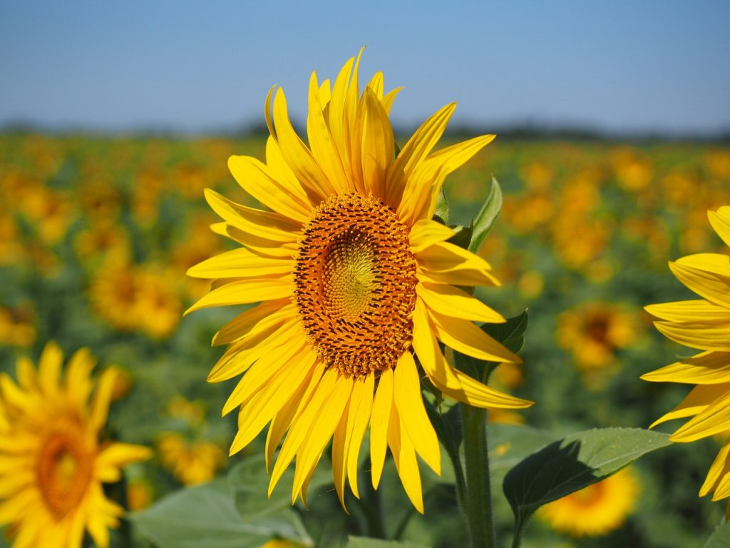 About sunflowers