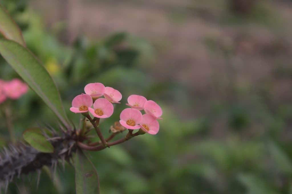 Euphorbia Plant Varieties