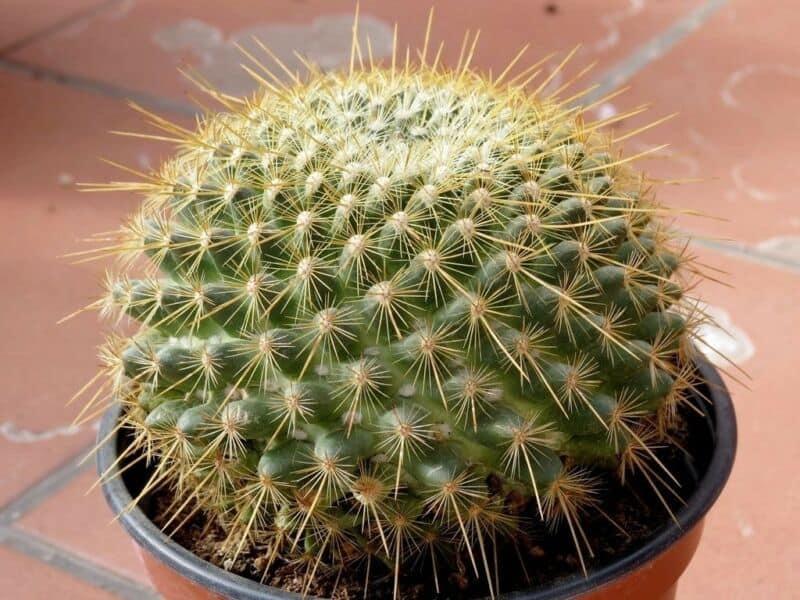 Golden Pincushion Cactus
