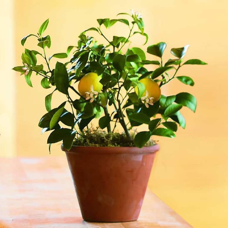 How to Plant Dwarf Lemon Tree Indoor