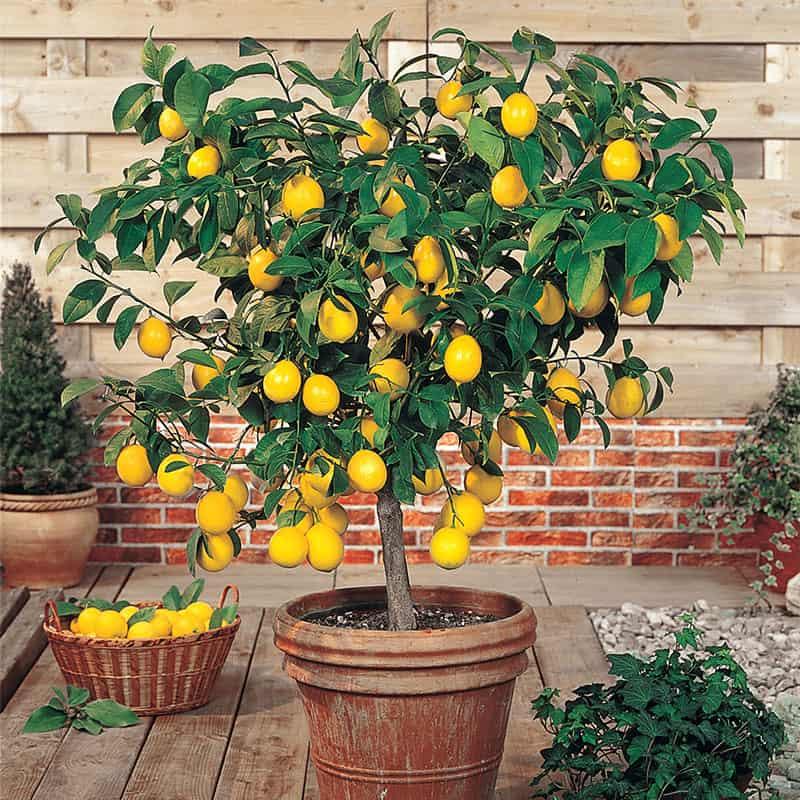 Planting Dwarf Lemon Tree
